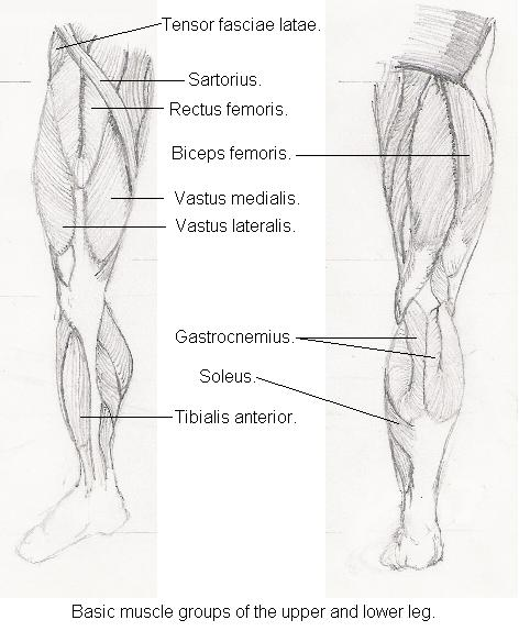 Legs. A beginners guide to drawing legs. Muscle groups of the upper and lower leg